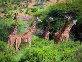 Кения от А до Я – Сафари и Почивка на брега на океана